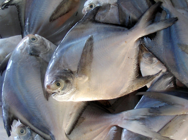 white pomfret: fresh pomfret at the local market