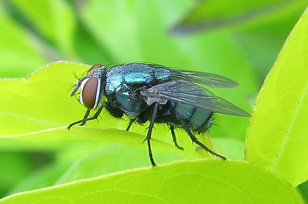 common blow-fly: common blow-fly on a leaf