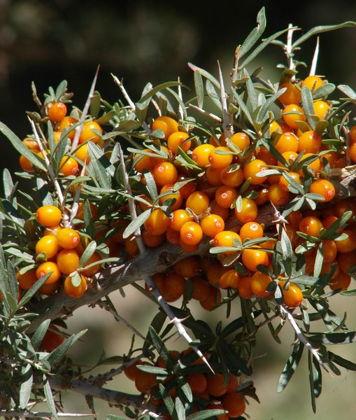 Sea-buckthorn Berries: Sea-buckthorn Berries in Ladakh