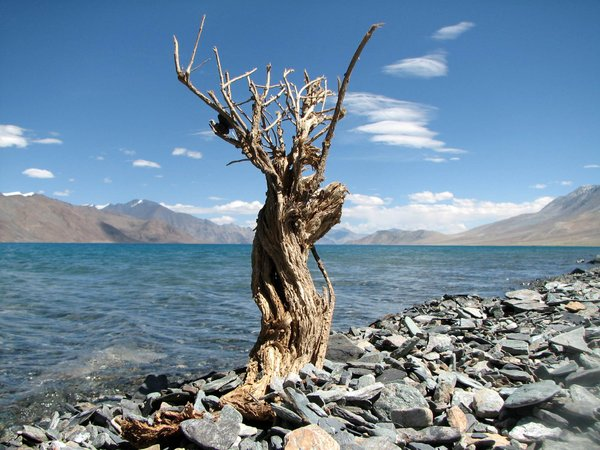 Dry Bush along the Pangong Lak: Dry Bush along the Pangong Lake, Ladakh