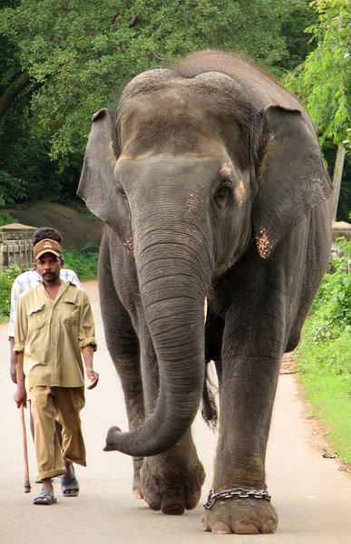 Elephant and Mahoot: Elephant and Mahoot at Kateel, near Mangalore.