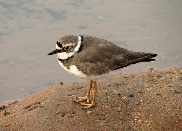 Little Ringed Plover: A Little Ringed Plover at Sunset