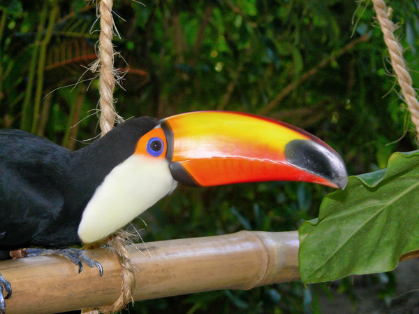 Toucan - You looking at me ?: Captive Toucan at the sealife park, Dominican Republic.