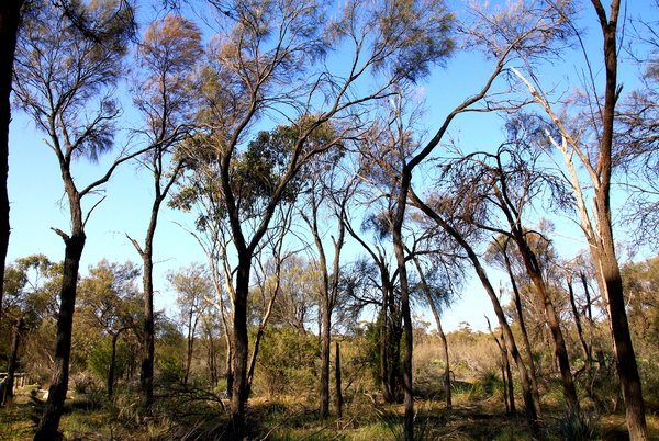 Treescape: Treescape in the Western Australia