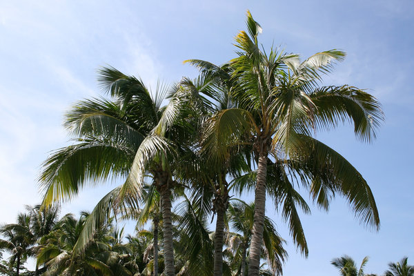 Coconut palms: Coconut palms in southern China.