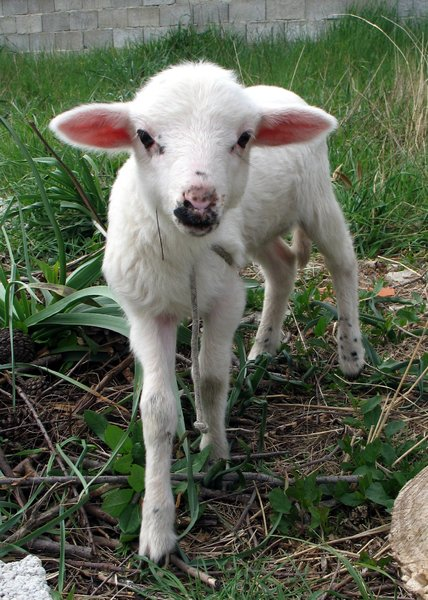 cute lamb: none
