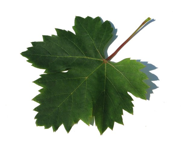 grapevine leaf: none