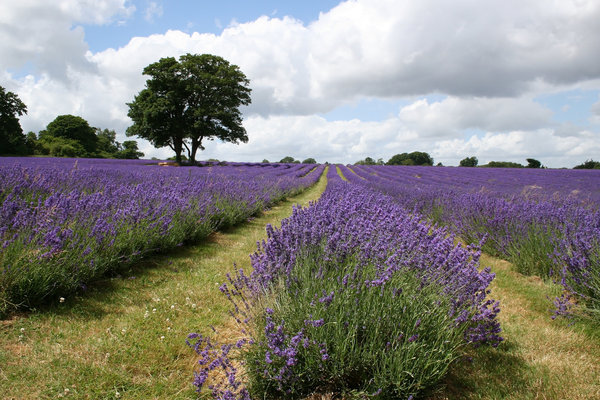 Lavender field: A field of cultivated lavender in Surrey, England, being grown for its edible oil.