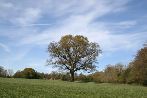 Spring oak: An oak (Quercus robur) tree showing the first signs of spring in a field in West Sussex, UK.