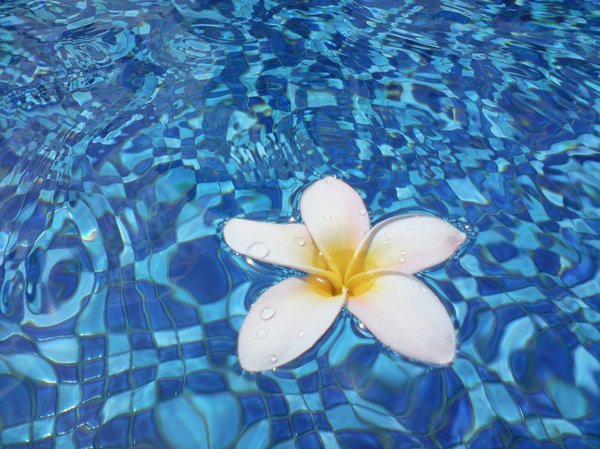 Frangipani in Water 2: Frangipani flowers on a swimming pool surface.
