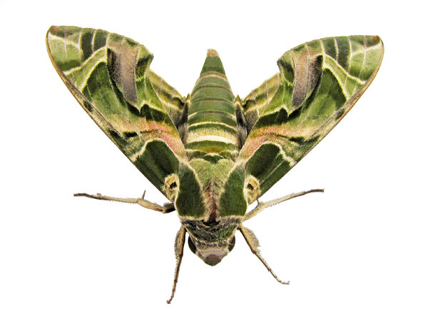 Oleander Hawk-moth Macro: Oleander Hawk-moth, Took a lot of time cleaning this one! I hope all that work won't go waste and it will be useful to someone :)