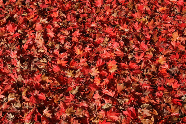 Red leaves: Fallen leaves of ornamental maple (Acer) trees in a garden in East Sussex, England.