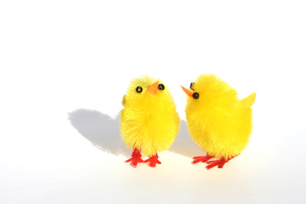 chick chick: two little yellow easter chicks on white background