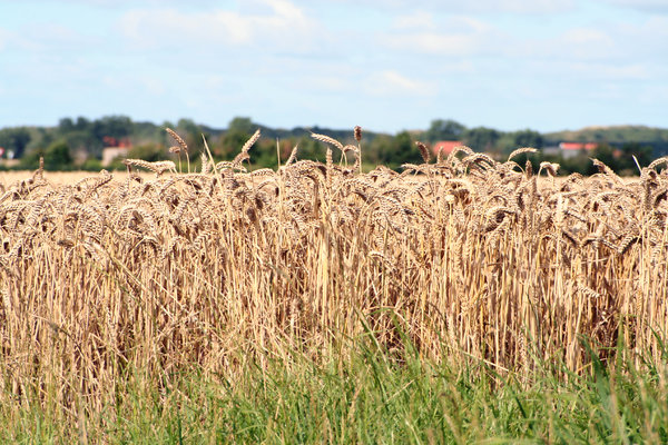 day in the country: country scenes, a field ready to be harvested