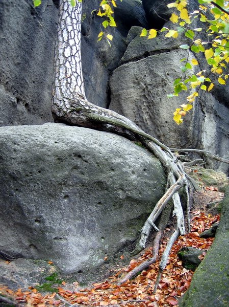 tree root on the rocks: tree root on the rocks