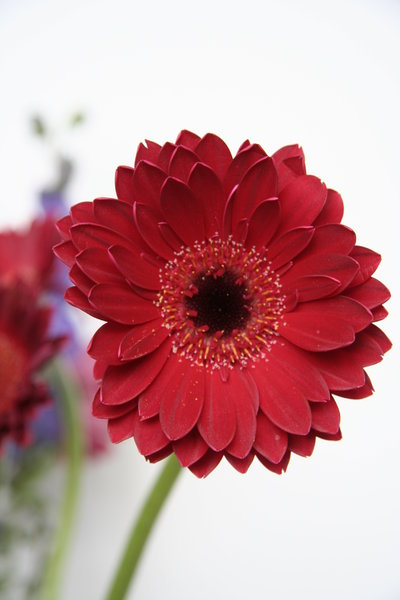 bright red gerbera: red gerbera with purple flowers in background