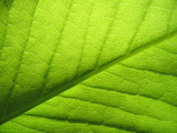 A study in the leaf 1: Green leaf