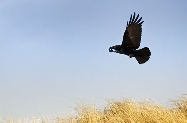 Flying crow: bird