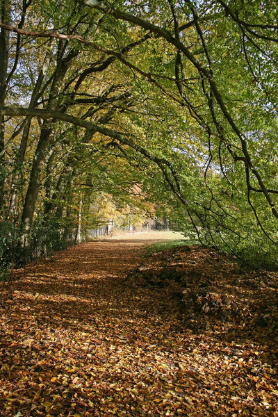 Autumn path: A path beside over-arching tree branches in autumn in East Sussex, England.
