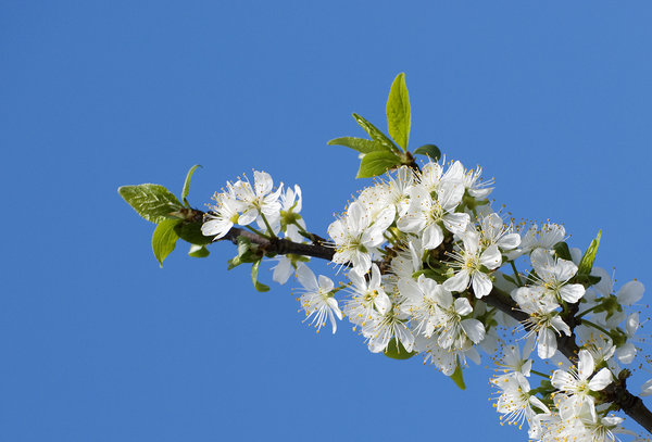 plum blossoms: plum flowers