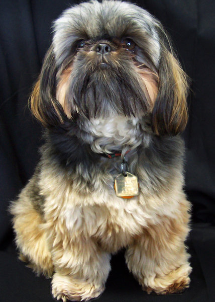 Kodiak: A black-masked gold shih-tzu
