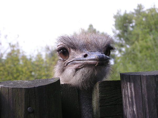 Ostrich jerking around: A big big bird at the zoo. Just looking atthe people. Beautiful eyes, don't you think?If you use my photos, please tell me where...I would be happy to receive the information about picture usage. I would be extremely happy to see the final work even if yo