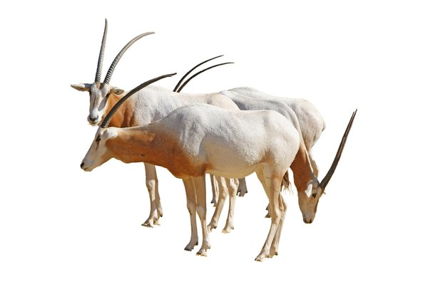 White Oryx: Isolated group of white oryx or Oryx Dammah.