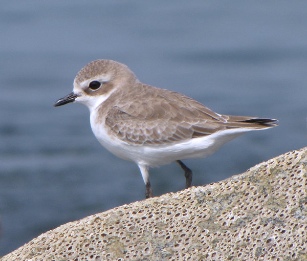 Kentish Plover: no description