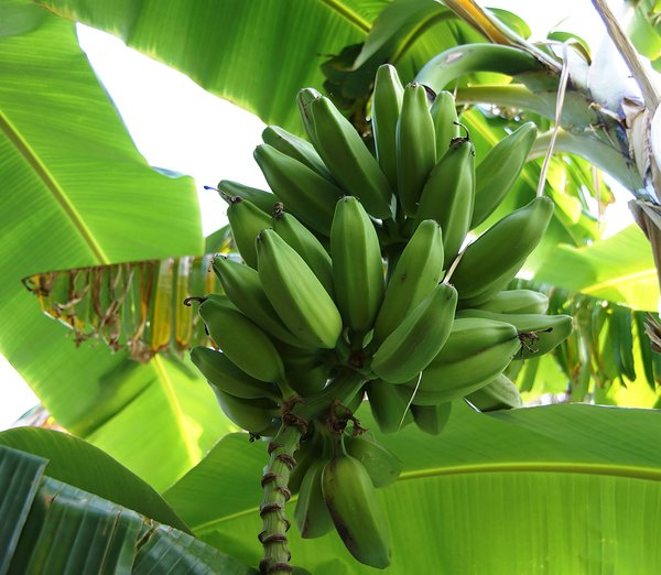 Bananas 1: A bunch of bananas in the tree