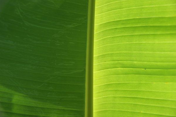 Palm leaf: no description
