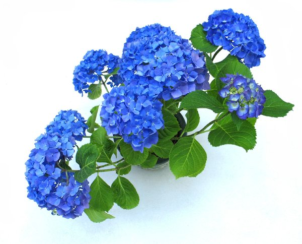 blue hortensia: none