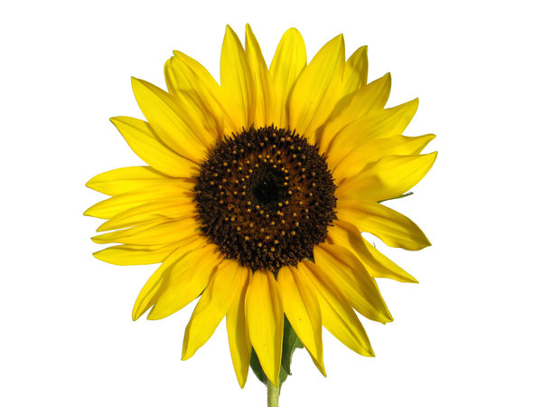 sunflower 1: none