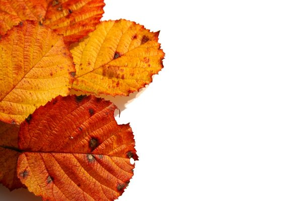 Red Leaves: A selection of autumn leaves against a white background