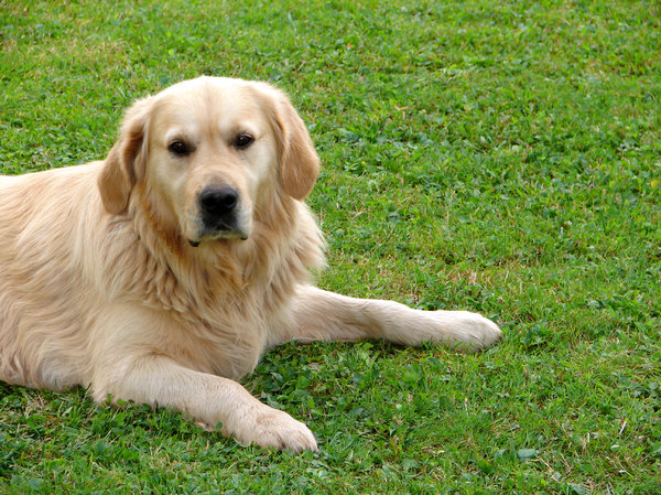 mans best friend: golden retriever (I guess) on the grass