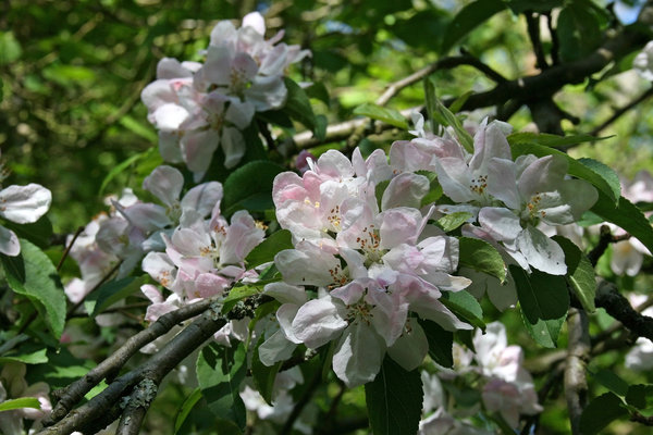 Apple blossom: Apple (Malus) blossom in spring in West Sussex, England.
