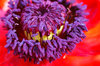 Macro sight of poppy flower 1