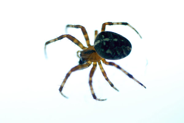 Orb-weaver spider 2: Spider from Araneidae family