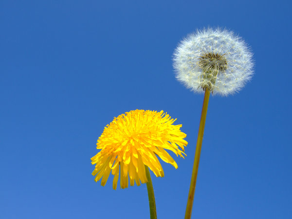 Dandelion: The beauty of wild flowers!