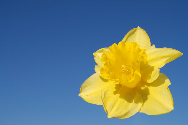 Wild daffodil 1: Wild daffodil. Widely used in Sweden in connection with Easter.