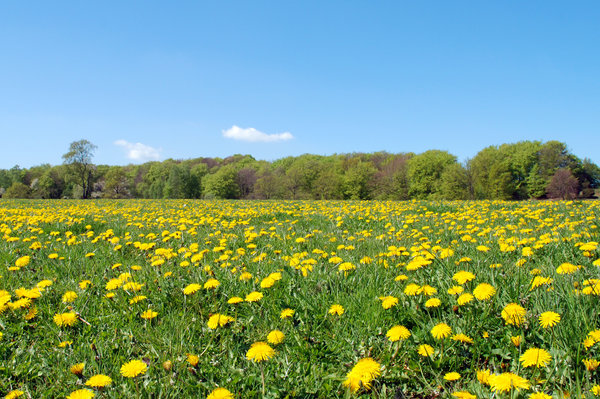 Dandelion world 1: Dandelion rules! May 2nd, Dalby, Sweden.