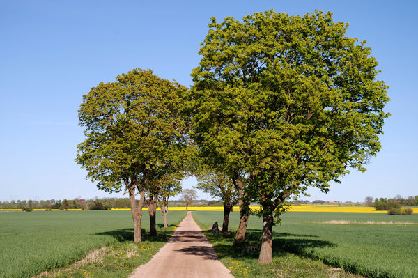 Trees: Trees on the countryside, Skåne, Sweden.