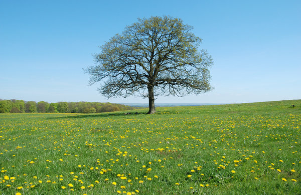 Solitary Tree May: A revisit to the solitary tree near the village Dalby, Skåne, Sweden.Same tree, all seasons:http://www.sxc.hu/photo/8 ..http://www.sxc.hu/photo/8 ..http://www.sxc.hu/photo/7 ..http://www.sxc.hu/photo/1 ..http://www.sxc.hu/photo/1 ..