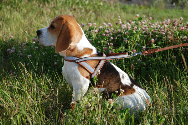Beagle Watch: Beagle she-dog ready to go.
