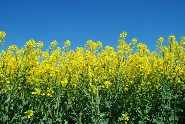 Yellow field and blue sky: Yellow field and blue sky