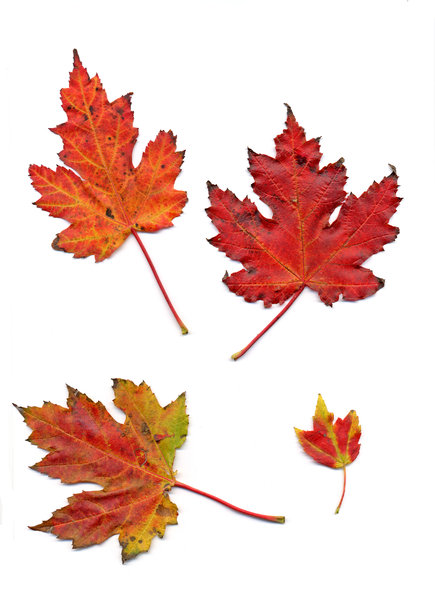autumn leaf 1: autumn leaves, clipping paths included.