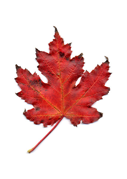 autumn leaf 3: autumn leaves, clipping paths included.