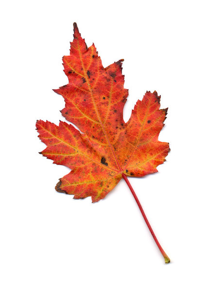 autumn leaf 5: autumn leaves, clipping paths included.