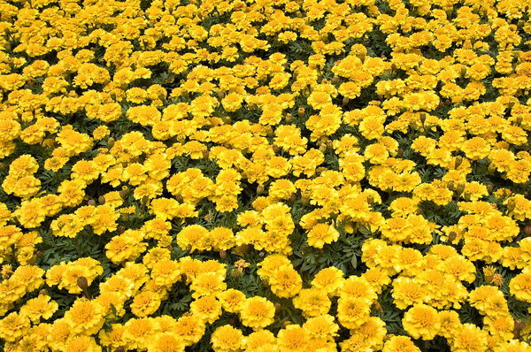 Marigolds: Marigolds at a Portland, WA park.