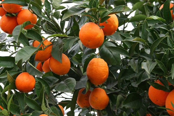 Oranges: An orange tree in fruit in a greenhouse.