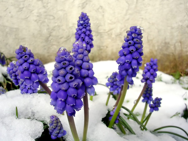 Grape Hyacinth in Snow: In my sister's garden in France.